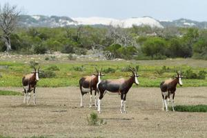 Bonteboks in De hoop nature reserve