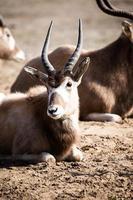 Grupo de antílopes impala sentado en la hierba seca. foto