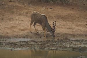 Kudu trinken