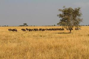 Landscape with migrating wildebeests