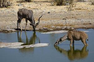 Kudu male and female drinking