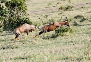 Topi antelope chasing for fight