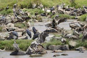 Vultures and Marabu's scavenge