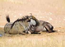 Wildebeest dust bathing