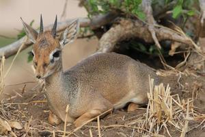 Little hartebeest, Tanzania photo