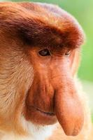 Face of a young male Proboscis Monkey
