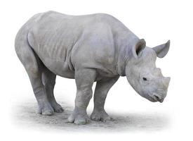 The Northern White Rhinoceros. photo