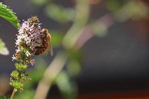 miel de abeja recolectando polen de hierbabuena foto