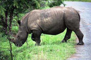 Rhino, white rhino in the Kruger National Park South Africa photo