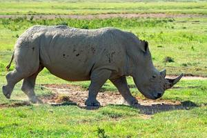 White rhino photo