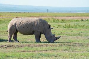 White rhinoceros ( Ceratotherium simum) photo