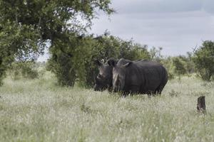 Two Rhinoceros photo
