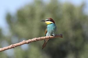 European Bee-eater photo