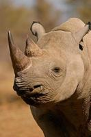 Black rhinoceros photo