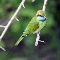 Green Bee-eater, Sri Lanka photo