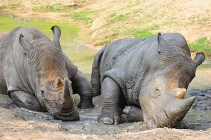 Black Rhinoceros photo
