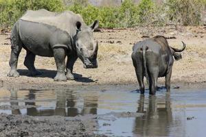 Rhinoceros and Buffalo