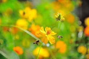 Las abejas son néctar de flores con cosmos amarillo. foto