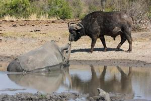 búfalo y rinoceronte foto