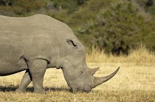 Male white rhino photo