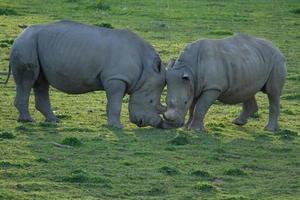 lucha contra rinocerontes blancos del sur macho foto