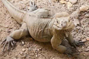 Closeup portrait of Rhinoceros Iguana lizard photo