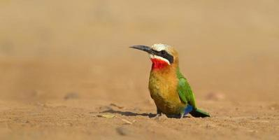 White fronted Bee-eater sat on bare ground photo