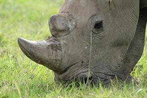 rinoceronte blanco del sur macho foto