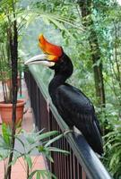 Rhinoceros Hornbill Bird photo
