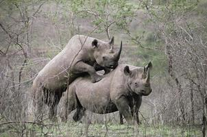 apareamiento de dos rinocerontes