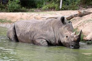 rhino in the muddy water photo