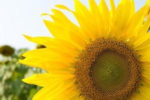 florecimiento de girasol foto