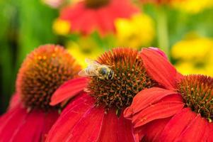 Red Echinacea flowers with a bee