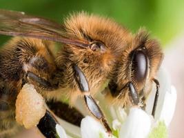 Vista de perfil de miel de abeja extrayendo polen de flor blanca foto