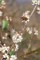 Honey bee in white blackthorn blossom.