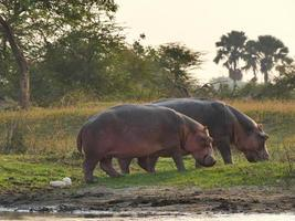 hipopótamos foto
