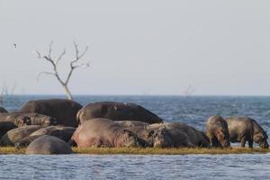 Hippopotamus pod sunbathing photo