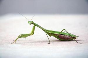 Mantis religiosa foto