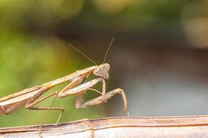 mantis foto