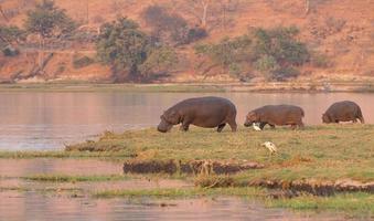 grupo de hipopótamos foto