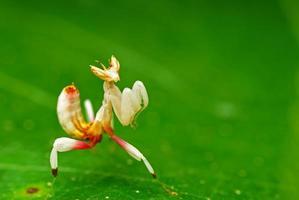 Cerca de la mantis de caza en una hoja verde foto