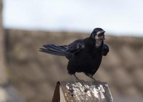 Angry Rook photo