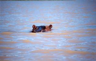 hipopótamo en el lago baringo foto