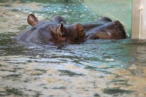 hipopótamo (hippopotamus amphibius) foto