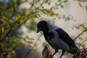primer plano de cuervo de cabeza negra