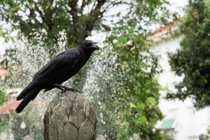Crow in the temple, Bangkok, Thailand photo