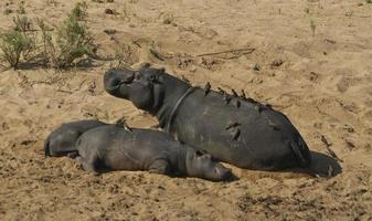 hipopótamos en el parque nacional kruger sudáfrica foto