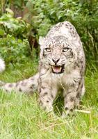 sorrindo leopardo da neve