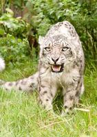 Smiling snow leopard