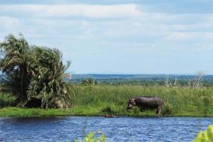 hipopótamo em uma lagoa